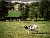 Cows grazing in a field, with farmhouse in the background. - Paul Carter - 28-04-1999