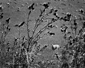 Looking past thistles to sheep in a field. - Paul Carter - 06-03-1998
