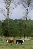 Two cows in a field, part of traditional management of water meadows on a nature reserve. - Paul Carter - 07-05-1994