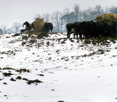 Cows feeding on hay in a snow covered field. - Paul Carter - 16-02-1994