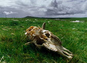 Sheep skull lying in a grassy field. - Paul Carter - 01-08-1990