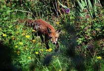 Fox prowling through long grasses. - Paul Carter - 20-06-2001