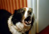Dog barking. - Paul Carter - 15-01-2003