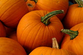 Harvested pumpkins. - Paul Carter - ,2000s,2003,AGRICULTURAL,agriculture,capitalism,capitalist,close,crate,crop,crops,cucurbita,diet,diets,eat,eating,EBF economy,ENI environmental issues,farm,farmed,farming,food,FOODS,fresh,freshness,fr