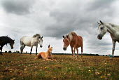 Dog being looked at by inquisitive ponies. New Forest ponies on Bagshot Moor, near Norleywood, The New Forest, Hampshire, UK. - Paul Carter - 2000s,2003,animal,animals,canine,common,conservation,country,countryside,Dog,dogs,domesticated ungulate,domesticated ungulates,eat,eating,ENI environmental issues,equestrian,equine,food,FOODS,Forest,g