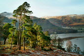 Tall Scots Pine trees on the banks of Ullswater, The Lake District - Paul Carter - 30-12-2003