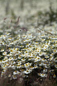 A field of Scentless Mayweed (Matricaria maritima). - Paul Carter - 2000s,2004,Britain,calm,country,countryside,daisy,England,ENI environmental issues,environment,flower,flowering,flowers,Great,hills,landscape,LANDSCAPES,outdoors,outside,peaceful,rank,rural,still,summ