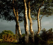 A clump of birch trees.  Pilley, nr Lyndhurst, New Forest, Hampshire. - Paul Carter - 29-05-2005