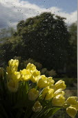 Sunlight falling on a bowl of yellow tulips, in front of a rain covered window. - Paul Carter - 02-05-2005