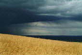 Looking past a field of yellow corn to dark rain clouds in the distance.Views from South Downs way near Alfriston, East Sussex - Paul Carter - 04-07-2005