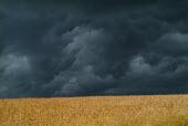 Dark storm clouds over a yellow field of crops.Views from South Downs way near Alfriston, East Sussex - Paul Carter - 04-07-2005