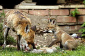 A fox cub playing with its mother­s bushy tail as she eats her offspring in a residential back garden. London - Justin Tallis - 17-05-2010