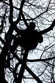 Sitting in the trees waiting where up to 25 campaigners have joined to fight plans to chop down trees at the site of a planned Tesco supermarket. Somerset, Shepton Mallett - Justin Tallis - 23-02-2006