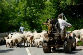 Shepherd on a quad bike moving his flock of sheep along a road with the help of his sheep dog. - Justin Tallis - 05-06-2006