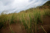 Strong winds on coastal sand dunes near llangennith, Wales. - Justin Tallis - 08-02-2007