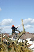 A self employed tree surgeon cutting back a large willow tree in a residential back garden. Stratford upon Avon. - Justin Tallis - 09-03-2007