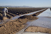 A Hispanic worker on a large farm in Arizona opening up ditches to irrigate a field for growing lettuces. Flooding the field leads to unproductive water runoff loss and is an inefficient use of a scar... - Jim West - 01-04-2008
