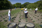 Volunteers work at an urban farm in a city park operated by the nonprofit Detroit Black Community Food Security Network (DBCFSN), USA. - Jim West - 2000s,2009,African American,African Americans,AGRICULTURAL,agriculture,America,BAME,BAMEs,black,BME,BME Black minority ethnic American,bmes,boy,boys,cabbage,cabbages,child,CHILDHOOD,children,cities,ci