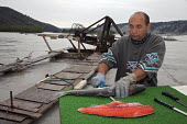 A man fillets a wild red salmon, caught on his fishwheel on the Copper River or Ahtna River. The use of fishwheels in Alaska is restricted to subsistence fishing, USA. - Jim West - 08-08-2009