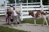 Two boys lead their calf to a pen to groom it, before a competition at the Iowa County Fair, USA. - Jim West - 09-07-2009