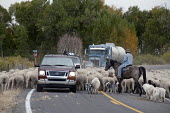 A shepherd moves a flock of sheep and a few goats along a road to a winter pasture in Colorado's San Luis Valley. USA - Jim West - American,2010,2010s,agricultural,agriculture,America,American,americans,animal,animals,AUTO,AUTOMOBILE,AUTOMOBILES,AUTOMOTIVE,capitalism,capitalist,car,cars,Colorado,country,countryside,cowboy,domesti