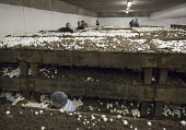 Workers pick mushrooms at the Rakhra Mushroom Farm. USA - Jim West - American,2010,2010s,AGRICULTURAL,agriculture,Alamosa,America,American,americans,BAME,BAMEs,BME,bmes,capitalism,capitalist,Colorado,cultivation,Diaspora,diversity,EARNINGS,EBF,Economic,Economy,employee