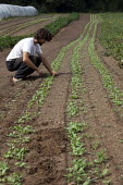 An intern weeding rows of baby spinach plants, Chelsea, USA - Jim West - 2010,2010s,agricultural,agriculture,America,American,americans,capitalism,capitalist,communities,community,country,countryside,crop,crops,CSA,EBF,Economic,Economy,employee,employees,Employment,farm,Fa