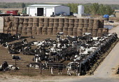 Beef cattle in a feedlot or feedyard Colorado, USA - Jim West - American,2010,2010s,agribusiness,AGRICULTURAL,agriculture,America,American,americans,animal,Animal Welfare,animals,beef,Beef production,CAFO,CAFOs,capitalism,capitalist,cattle,Colorado,Concentrated An