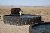 A cow drinking at a water tank made of an old tyre on the Bohart Ranch. Bohart is a working cattle ranch that is managed in partnership with the Nature Conservancy to maintain the ranch's prairie ecos... - Jim West - 27-09-2010