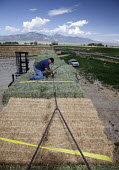 Worker loading hay bales from a ranch onto a triple trailer. Nevada USA - Jim West - 05-07-2011