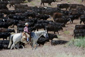 A boy helps move cattle to a new pasture, Baker Ranch, Nevada, USA - Jim West - 05-07-2011
