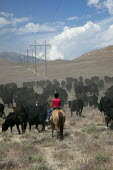A 12-year-old girl helps move cattle to a new pasture, Baker Ranch, Nevada, USA - Jim West - 05-07-2011