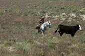 Cowboy moving cattle to a new pasture, Baker Ranch, Nevada, USA - Jim West - 05-07-2011