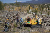 A crew of Hispanic workers pushing pine logs through a chipper after the trees were cut down because they had been killed by an outbreak of mountain pine beetles. USA - Jim West - American,2010,2010s,America,American,americans,animal,animals,BAME,BAMEs,bark,beetle,blight,blighted,BME,bmes,capitalism,capitalist,chipper,chipping,Climate Change,Colorado,country,countryside,crew,cu