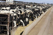 A beef cattle feedlot in the Imperial Valley operated by Superior Cattle Feeders. USA. - Jim West - 28-01-2012