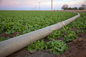 An irrigation pipe in a field of lettuce in the Imperial Valley. The Valley is irrigated with water brought by canals from the Colorado River. USA. - Jim West - 27-01-2012