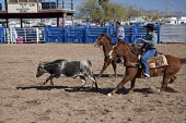 The team roping competition in the Masters division (Age 40+) of the Native American Tohono O'odham Nation All Indian Rodeo. USA. The cowboy must throw a type of rope with a loop, known as a lariat, r... - Jim West - 02-02-2012