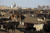 Greeley, Colorado - Cattle at the Horton Feedlot. - Jim West - 12-03-2012