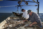 Mobile, Alabama - A shrimp trawler on Mobile Bay. Jackie Schwartz and Darrell Goleman sort shrimp from the bycatch. The trawler is part of the Alabama Fisheries Cooperative. - Jim West - 08-11-2012
