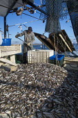 Mobile, Alabama - A shrimp trawler on Mobile Bay. Darrell Goleman separates the shrimp from other species by putting them in a tank of salt water the shrimp tend to sink, and most of the bycatch can b... - Jim West - 08-11-2012