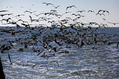 Mobile, Alabama - Gulls and pelicans follow a shrimp trawler on Mobile Bay. The birdsare feeding on the non-shrimp bycatch discarded from the trawler. The trawler is part of the Alabama Fisheries Coop... - Jim West - 08-11-2012