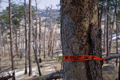 Hulett, Wyoming - A dead tree in the Black Hills after a forest fire at Devils Tower National Monument. The National Park Service has marked it as a killer tree to be cut down because it is close to a... - Jim West - American,2010s,2012,America,American,americans,caution,clearing,danger,dangerous,dangers,dead,Devils,Devil's,DIA,eni,environment,environmental,Environmental Issues,fire,fires,forest,forestry,hazard,ha
