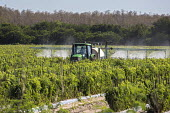 Immokalee, Florida - A tractor driver wearing protective clothing and a respirator spraying pesticides on tomato plants - Jim West - 14-02-2014