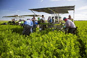 Belle Glade, Florida - Workers harvest celery at Roth Farms. - Jim West - American,2010s,2014,agricultural,agriculture,America,American,americans,BAME,BAMEs,Belle,BME,bmes,by hand,capitalism,capitalist,celery,crop,crops,cut,cutting,Diaspora,diversity,EARNINGS,EBF,Economic,E