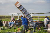 Belle Glade, Florida - A worker carries boxes during the celery harvest at Roth Farms. - Jim West - American,2010s,2014,agricultural,agriculture,America,American,americans,BAME,BAMEs,Belle,BME,bmes,box,boxes,by hand,capitalism,capitalist,carries,carry,carrying,celery,crop,crops,cut,cutting,Diaspora,