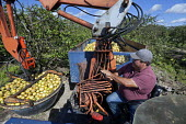 Fort Pierce, Florida - Grapefruit is harvested in the Citrus District. - Jim West - 13-02-2014