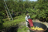 Fort Pierce, Florida - Grapefruit is harvested for juice in the Citrus District - Jim West - 13-02-2014