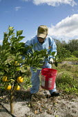 Fort Pierce, Florida - A worker sprinkles fertilizer around young grapefruit trees in the Citrus District - Jim West - 13-02-2014
