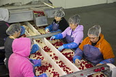 Belle Glade, Florida - Workers sort radishes in a South Florida packing house. - Jim West - American,2010s,2014,AGRICULTURAL,agriculture,America,American,americans,BAME,BAMEs,Belle,BME,bmes,by hand,capitalism,capitalist,conveyor,crop,crops,Diaspora,diversity,EARNINGS,EBF,Economic,Economy,emp