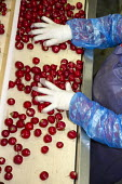Belle Glade, Florida - Workers sort radishes in a South Florida packing house. - Jim West - American,2010s,2014,AGRICULTURAL,agriculture,America,American,americans,BAME,BAMEs,Belle,BME,bmes,by hand,capitalism,capitalist,conveyor,crop,crops,diversity,EARNINGS,EBF,Economic,Economy,employee,emp